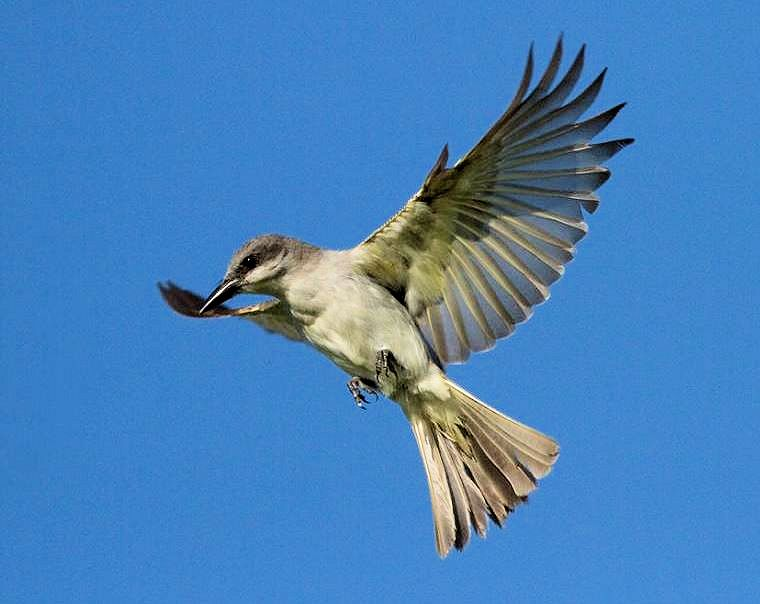 Photo of Gray Kingbird also know as Petchary